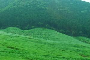 箱根の仙石原のすすき原が緑で綺麗